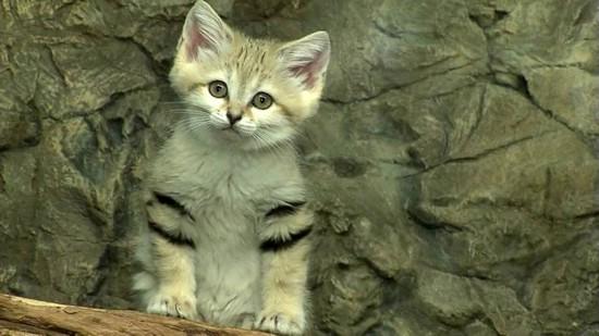 Песчаный кот, или барханная кошка