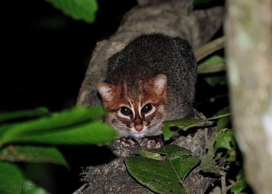 Суматранская, или плоскоголовая кошка