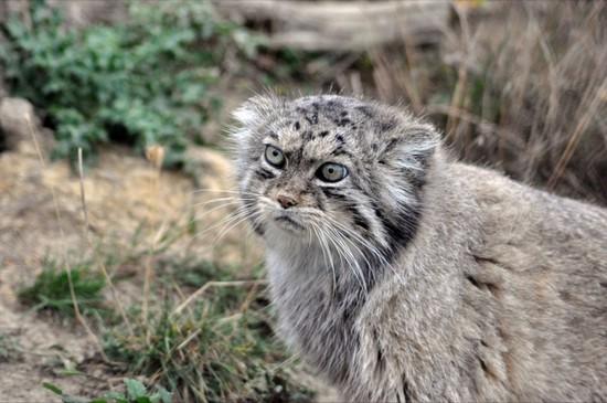 Китайская кошка, или гобийская серая кошка